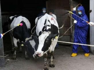 ¡Lo que faltaba! Se reportan 6 mil contagios de brucelosis en China