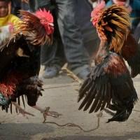 Gallo de peleas mata a su dueño durante evento ilegal