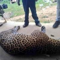 Campesino envenena a jaguar por matar a su burro. Pasó en Oaxaca