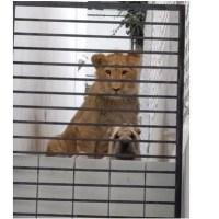 Vecinos denuncian abandono de león y perro en casa de Edomex