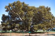 Champion Fig Tree