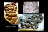 Egg clutch fossils