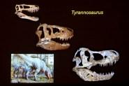 Tyrannosaurus skulls