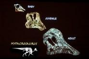 Hypacrosaurus skulls
