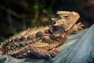 Giant Horned Lizard