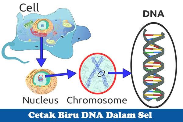 Cetak Biru DNA Dalam Sel