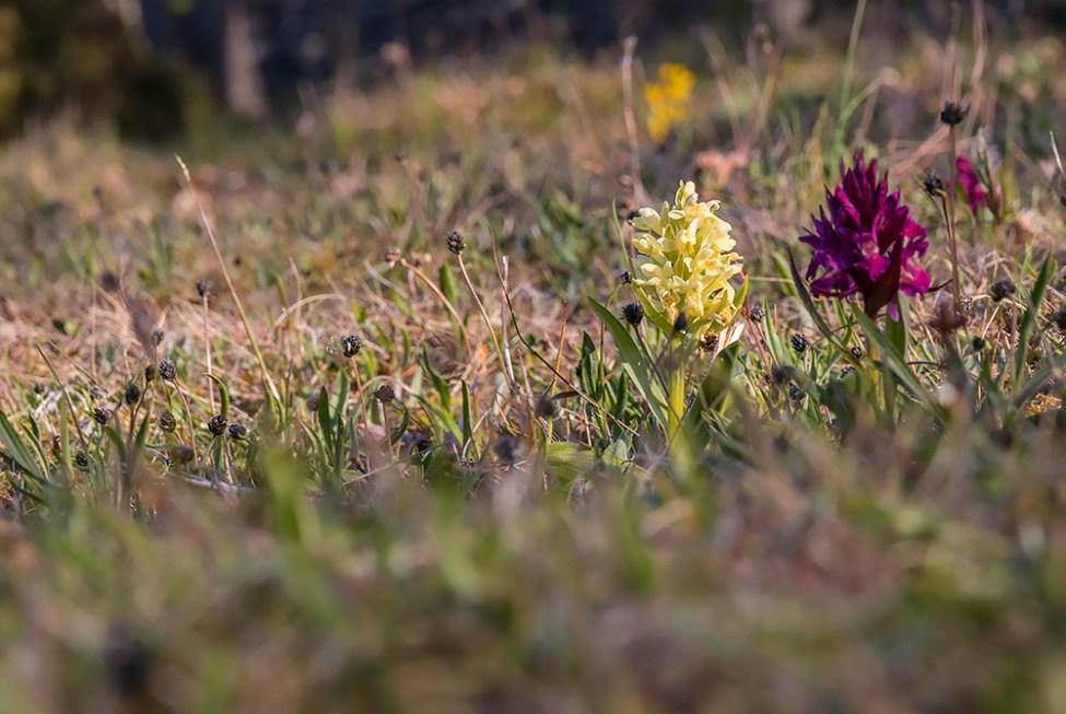 Orkidéerna blommar hör och där, dessa på Örö
