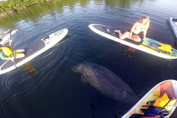 paddle board (sup) and kayak with manatee at round island park in vero beach florida
