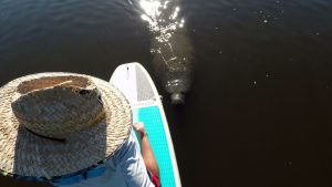 SUP Tours with Manatees