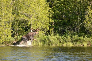Bull moose in the BWCA