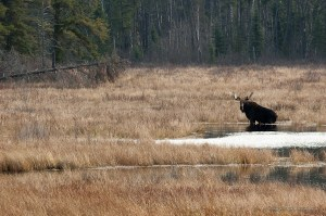 moose in the Boundary Waters