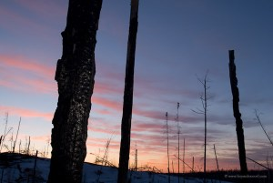 Burned husks of trees at sunset in the Ham Lake Fire area.