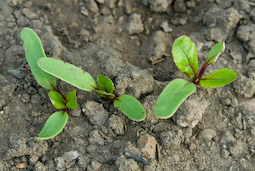 Sow beetroot direct. Seedlings don't like being transplanted.
