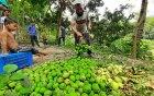 রাজশাহীতে মৌসুমের প্রথম আম পাড়া শুরু