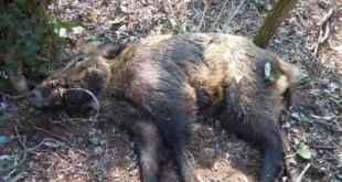 Roccamonfina – Bracconieri fermati con un cinghiale. La difesa: lo abbiamo trovato ferito e volevamo soccorrerlo. E' morto in auto. Denunciato noto barista