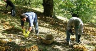 Roccamonfina – Castagneti, fra cinipide e veleni: muore l'economia di un territorio. Fra l'indifferenza generale. Anche del Parco Regionale