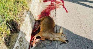 Roccamonfina – Parco Regionale, due daini e un istrice travolti e uccisi
