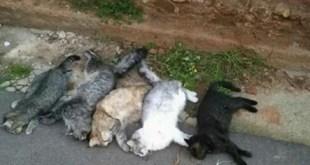 CALVI RISORTA – Strage di gatti nella frazione, indagano i carabinieri