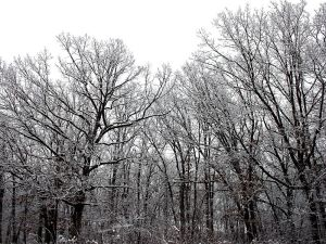 800px-Snow_on_trees_(1)