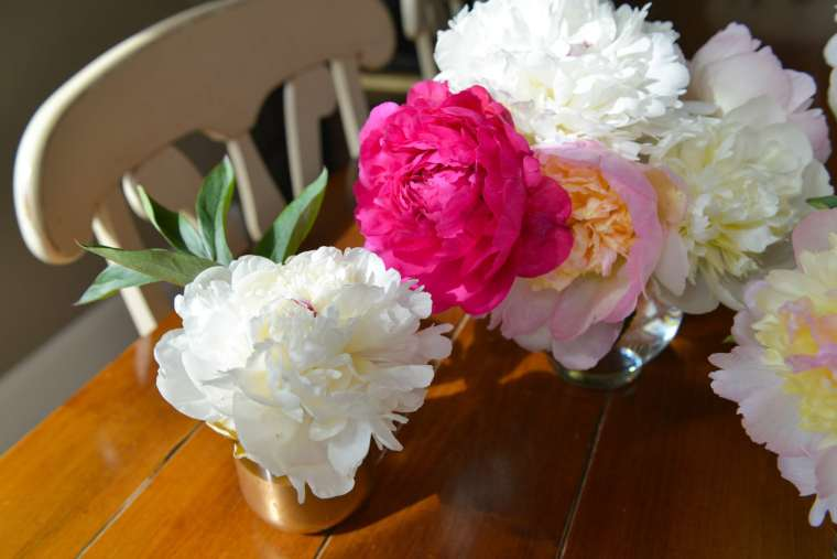 Alaskan Peonies, Cool Cache Farms