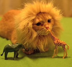 Video Gatto travestito da leone gioca con gli animali della savana