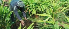 बिक्रि ठप्प भएपछि अलैंची खेतीमा किसानको आकर्षण घट्दो