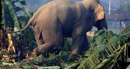 जंगली हात्तीको आक्रमणबाट १ जनाको मृत्यु