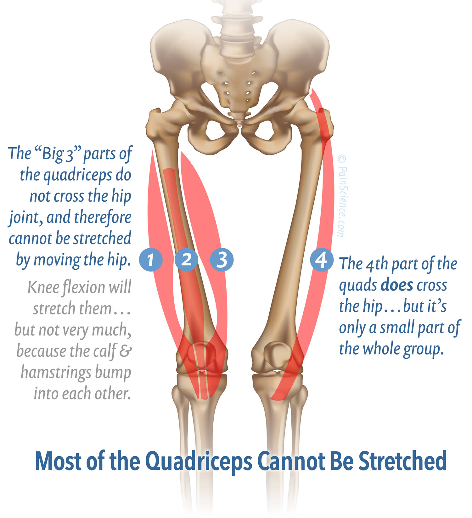 hight resolution of the vasti are only elongated by knee flexion which is limited to about 120 when the calf hits the hamstrings the vasti cannot be stretched strongly