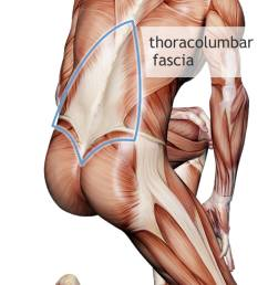 thicker stiffer thoracolumbar fascia in back pain what does it mean  [ 750 x 1249 Pixel ]