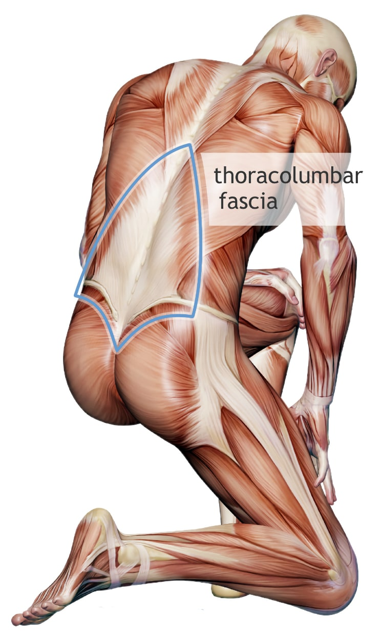 medium resolution of thicker stiffer thoracolumbar fascia in back pain what does it mean