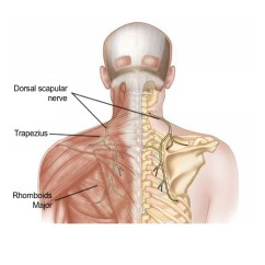 Nerves In Neck And Shoulder Diagram Glock 30 Exploded Dorsal Scapular Nerve Entrapment Syndrome Pain Spa Anatomy