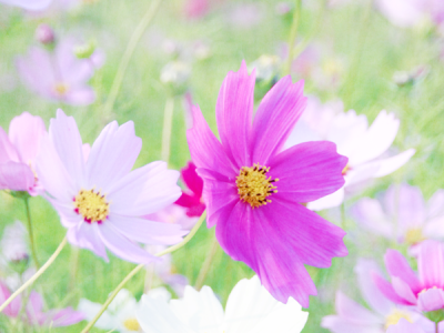 A Field Of Cosmos