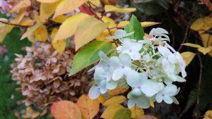 hydrangea bloom in fall