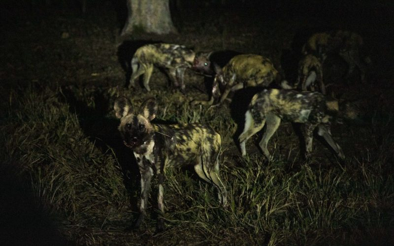 All dogs safely released into their temporary boma to acclimatise after translocation, Majete Wildlife Reserve, Malawi © Matt Moon