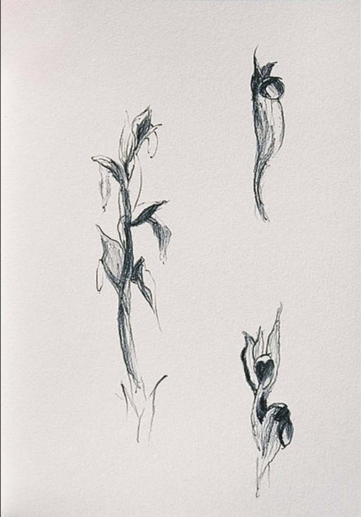 David Gibson flower drawings
