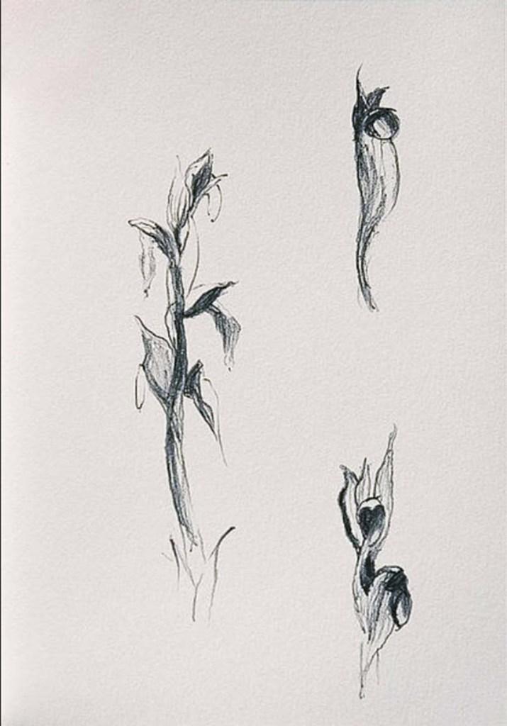 David Gibson flower drawings