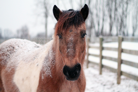 Painting Pony Blog // Chincoteague Ponies in the Snow