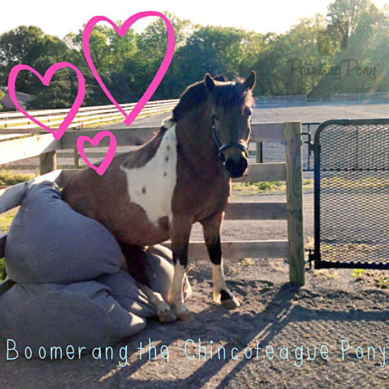 Boomer the Chincoteague Pony Learns to Sit // Painting Pony