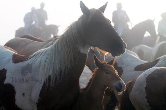 Pony Penning 2013 // Chincoteague Pony Beach Walk // Painting Pony