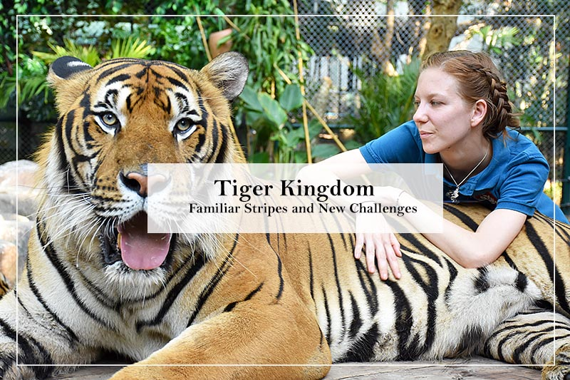 Tiger Kingdom: Familiar Stripes and New Challenges