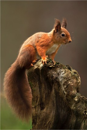 'Red Squirrel' by Mike Cruise