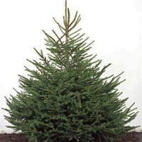 Real Christmas tree recycling places in Renfrewshire