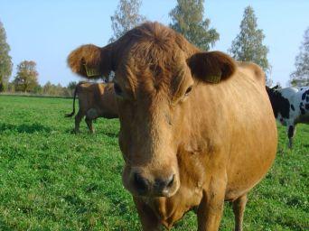 Maakarja lehm