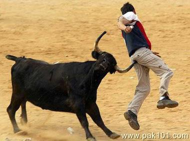 Animal Pak Quotes Wallpaper Funny Picture Aggressive Bull Attacks On Man Ass Pak101 Com