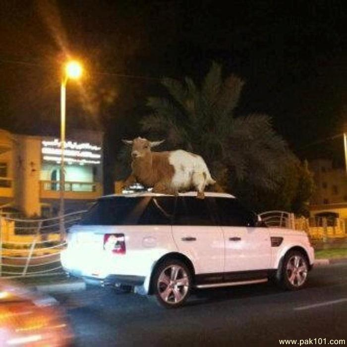 Www Baby Girl Wallpapers Com Funny Picture Funny Goat On Car Pak101 Com