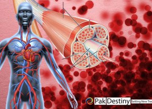Delivery of Oxygen from the Blood to the Muscles and Organs