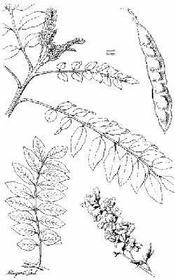 PAKISSAN.com; A tree with a purpose Gliricidia sepium