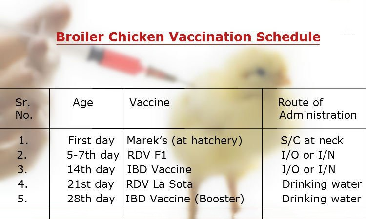 Vaccination Schedule for Broilers » Pakissan com