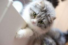 ご飯をご飯をくださいにゃ!って感じのメス猫(スコティッシュフォールド)