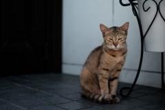目を細める家猫